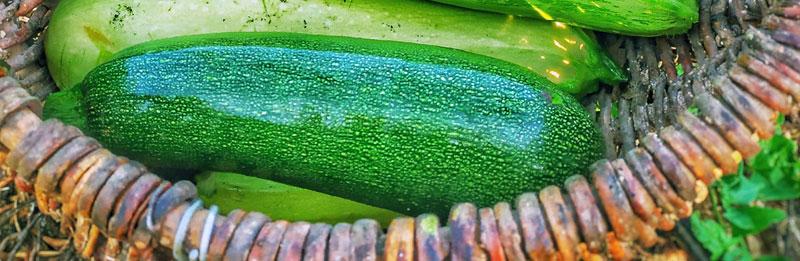 Una zucchina appena raccolta